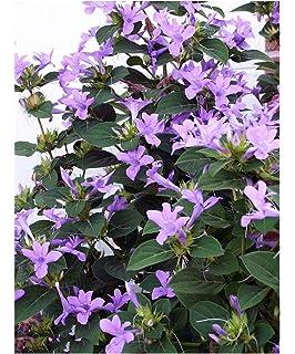 Philippine Violet Barleria cristata /'alba/' 10 fresh organic seeds