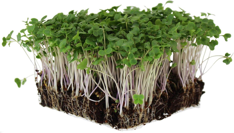 Waltham 29 Broccoli Seeds | Non-GMO Bulk Heirloom Broccoli Seeds for Sprouting, Microgreens, Vegetable Gardening, Garden Salad Garnishes, More (1 Lb)
