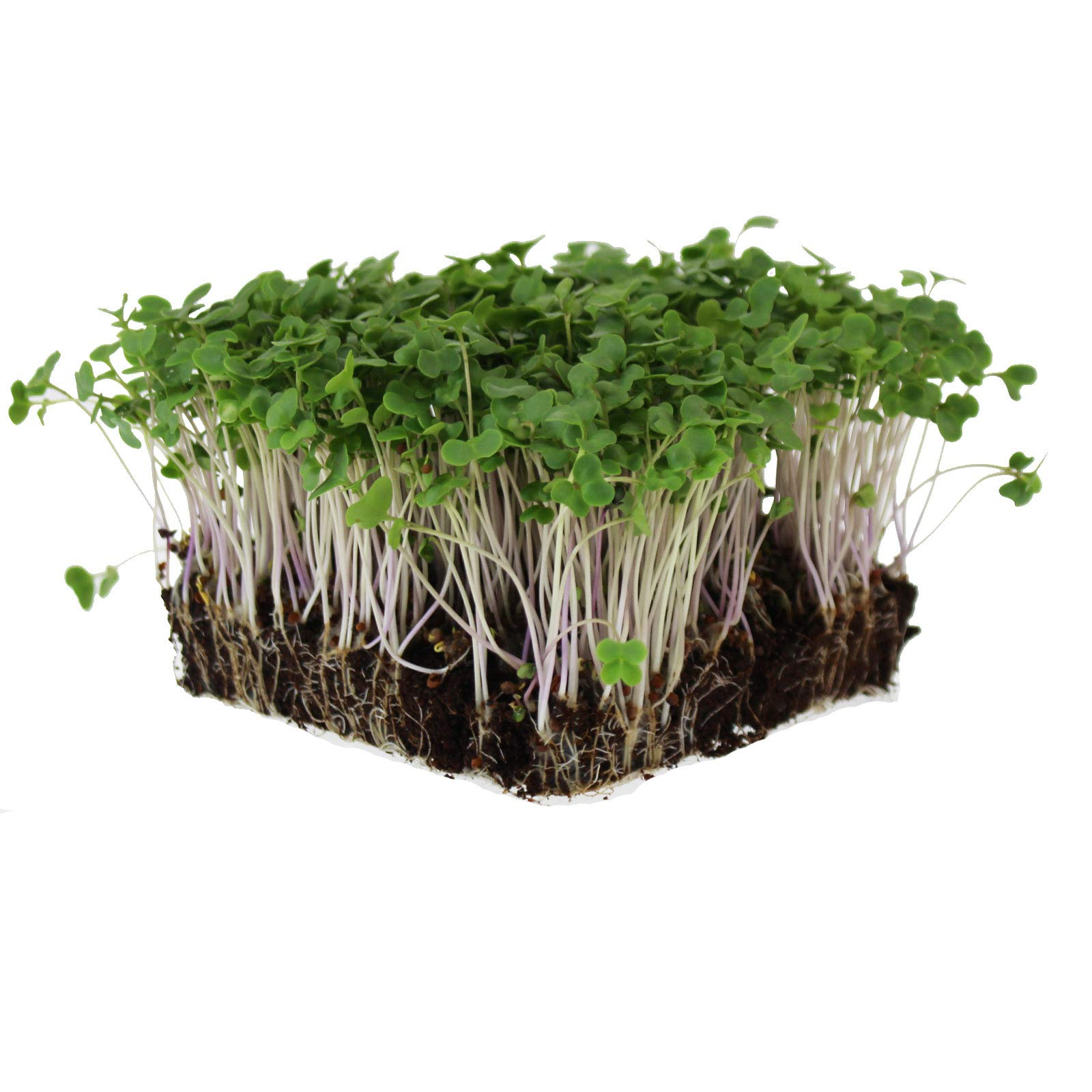 Mountain Valley Seed Company Waltham 29 Broccoli Seeds | Non-GMO Bulk Heirloom Broccoli Seeds for Sprouting, Microgreens, Vegetable Gardening, Garden Salad Garnishes, More (5 Lb) by Mountain Valley Seed Company