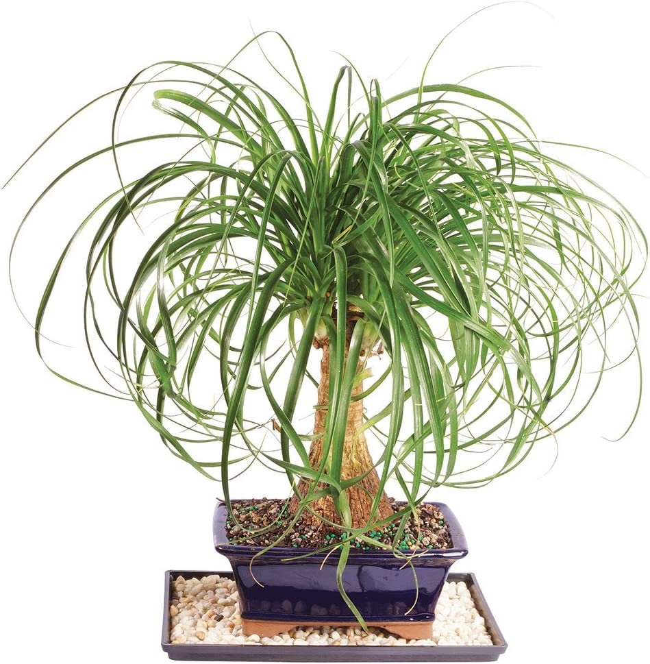 "Brussel's Live Pony Tail Palm Indoor Bonsai Tree - 7 Years Old; 12"" to 20"" Tall with Decorative Container, Humidity Tray & Deco Rock 71nOBEbgz8L"