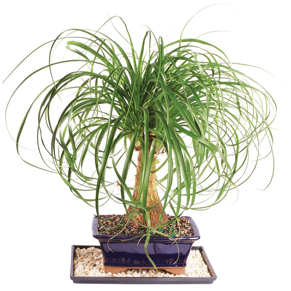 Brussel's Ponytail Palm Bonsai - Medium (Indoor) with Humidity Tray & Deco Rock