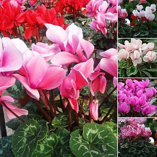 lamta1k 50Pcs Flor de Color Mezclado Ciclamen Semillas Bonsai Decoración del jardín de la casa perenne - Ciclamen Semillas: Amazon.es: Hogar