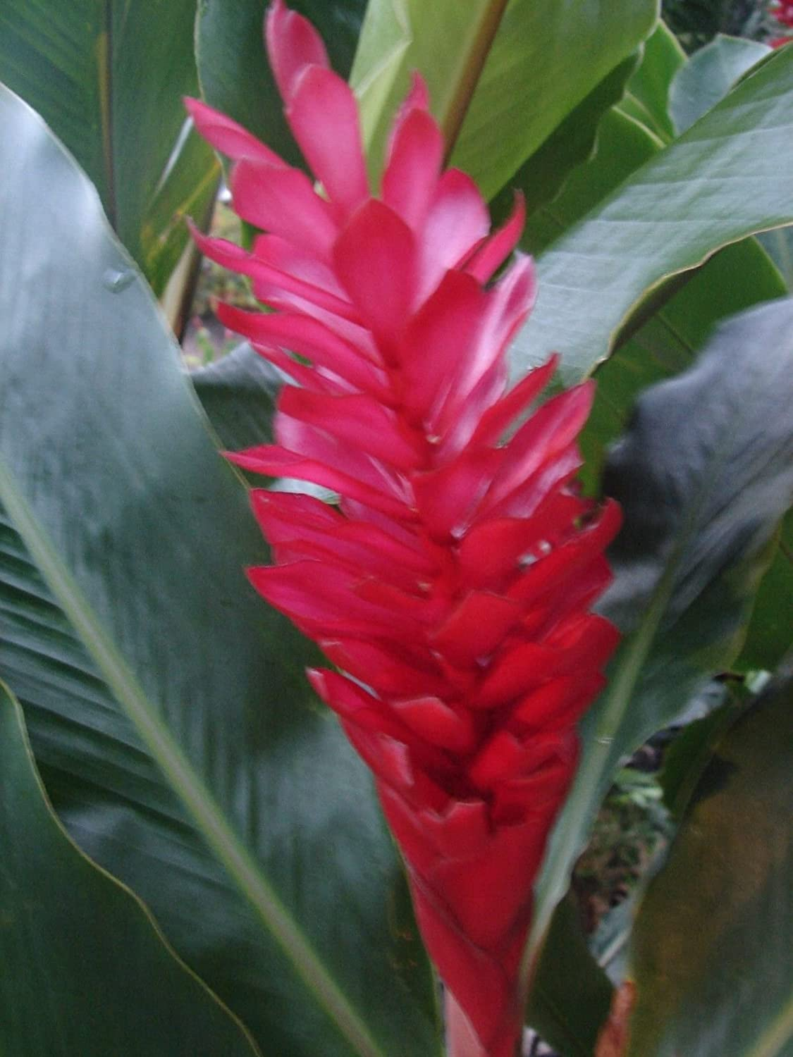 Amazon hawaiian red ginger alpinia purpurata not a rhizome amazon hawaiian red ginger alpinia purpurata not a rhizome this is small potted plant garden outdoor izmirmasajfo