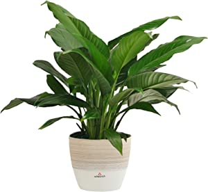 Costa Farms Spathiphyllum Peace Lily Live Indoor Plant in Premium Scheurich Ceramic Planter, 15-Inch, Gift