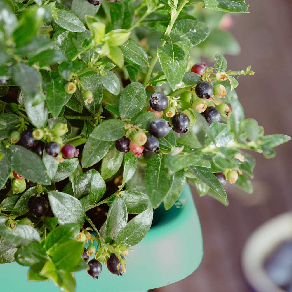 High Yielding Compact Fruit Bush Easy to Grow Potted Hardy Garden Plant Blueberry 1 x Blueberry BerryBux Plant in a 10.5cm Pot by Thompson /& Morgan Ideal for Small Gardens and Patios 12