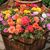 Seedscare Portulaca F2 Hybrid Kariba Extra Double Mix Flower Seeds