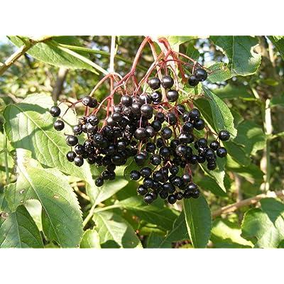 "BLACK ELDERBERRY ""Sambucus canadensis"" 20-Perennial Seeds : Tree Plants : Garden & Outdoor"