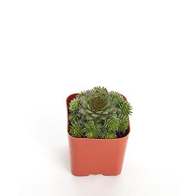 Shop Succulents Sempervivum Black 2In Plant : Garden & Outdoor