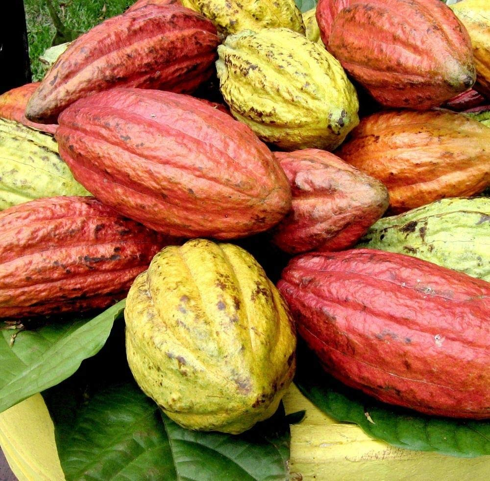 Portal Cool 200: Semillas de Cacao de Fruta 100% de germinación Semillas Frescas Inicio Planta de Jardãn: Amazon.es: Jardín