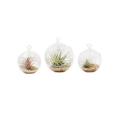Shop Succulents Mini & Medium Terrarium Trio with Air Plants : Garden & Outdoor