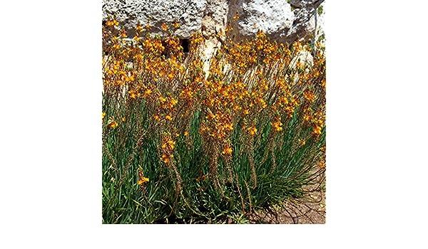 Bulbine frutescens 200 African Aloe Jelly Burn Plant Fresh Seeds Orange Color