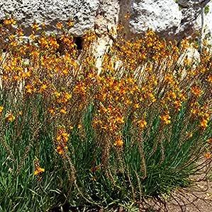 Orange Tall Perennial Bees Bulbine frutescens /'Orange/' 30 Seeds Nectar