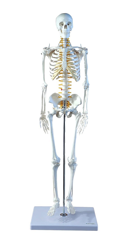 Cranstein A-130 Mini-Skelett Modell, mit Nerven, 85cm - Anatomie ...