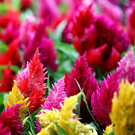50 CELOSIA FLOWER SEEDS RESEEDING ANNUAL COCKSCOMB MULTI-COLORED MIX
