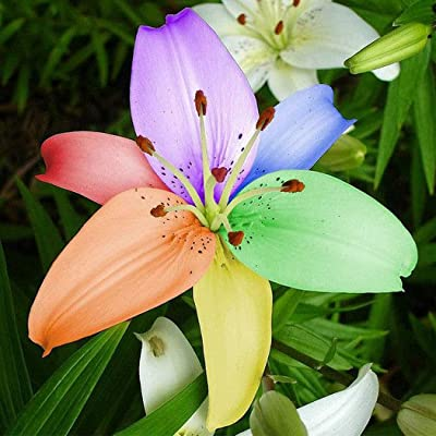 Elever 20Pcs Beautful Home Gardening Balcony Bonsai Mix Colors Rare Lily Flower Seed_type17: Garden & Outdoor