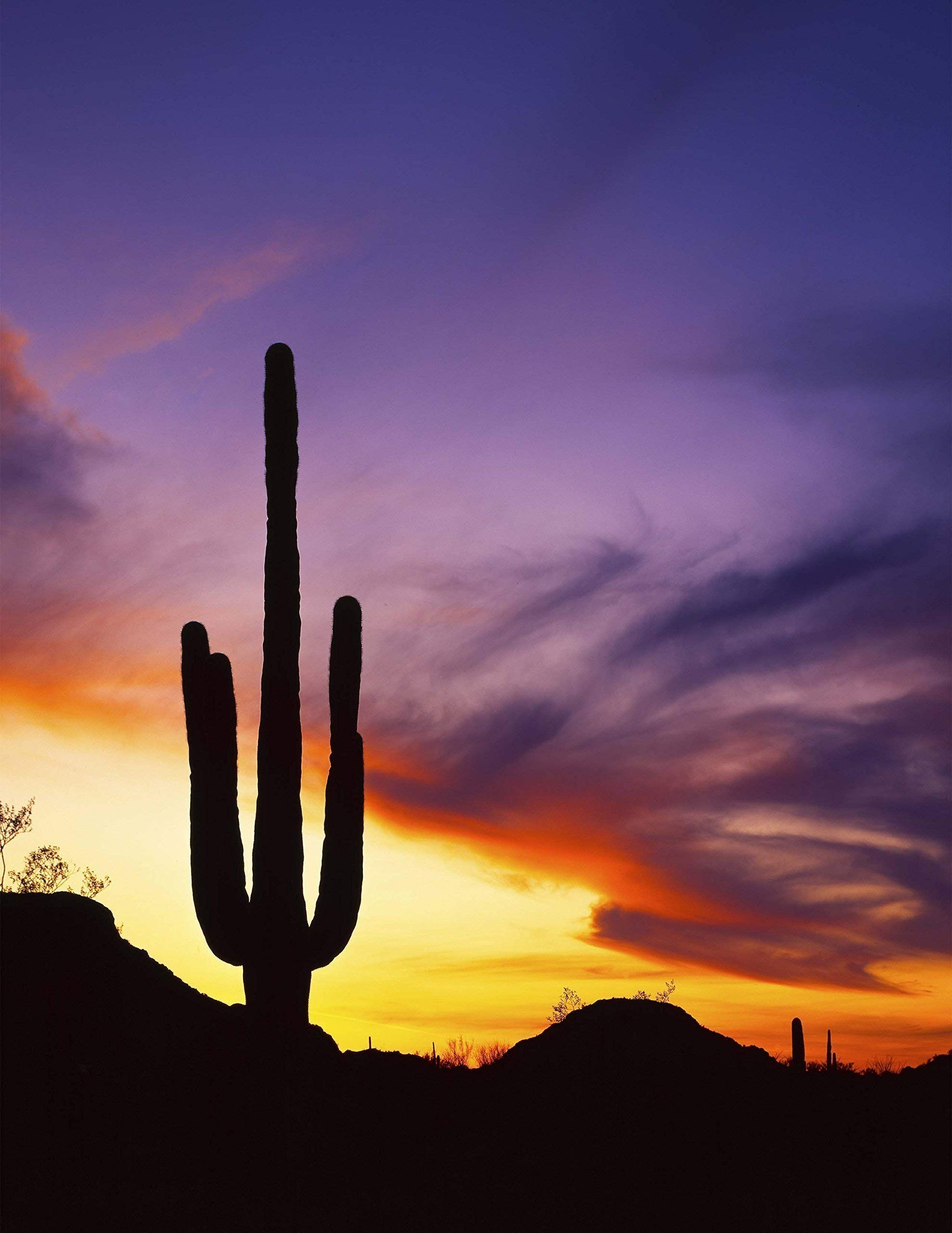 Saguaros at Sunset, Saguaro National Park, Arizona, landscape photo, nature photography, wall art, home decor, office decor, sizes up to 44x66 inches, fine art print, signed by the artist.