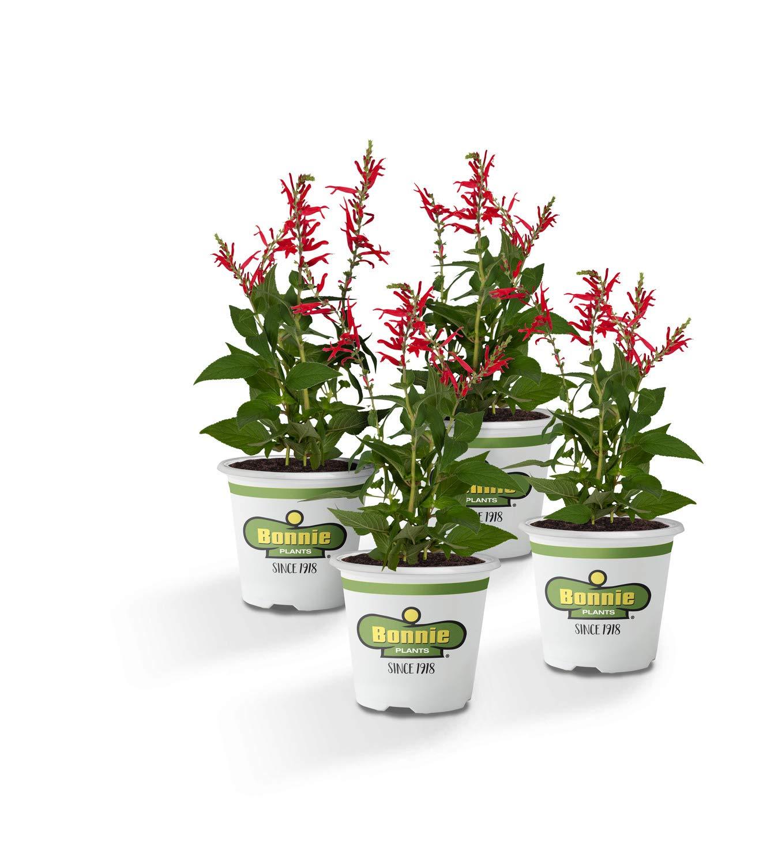 Bonnie Plants 4P5101 Pineapple Sage - 4 Pack Live Plants,