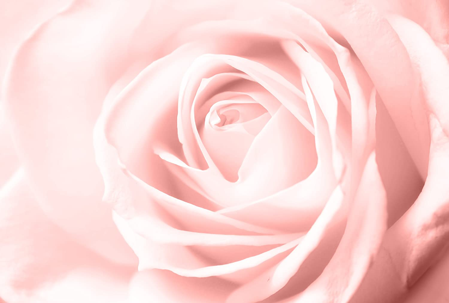 Large Pink Rose Flower Close Up Floral Canvas Wall Art Picture Any Size