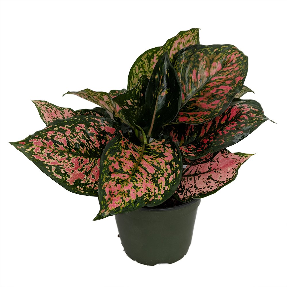 Red Valentine Chinese Evergreen Plant - Aglaonema - Grows in Dim Light - 6'' Pot