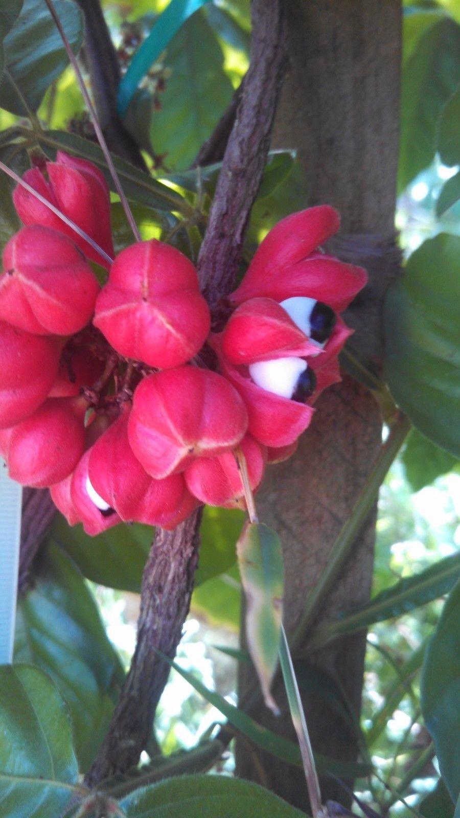 Paullinia cupana - Live SPROUTED plants! - Guarana Vine