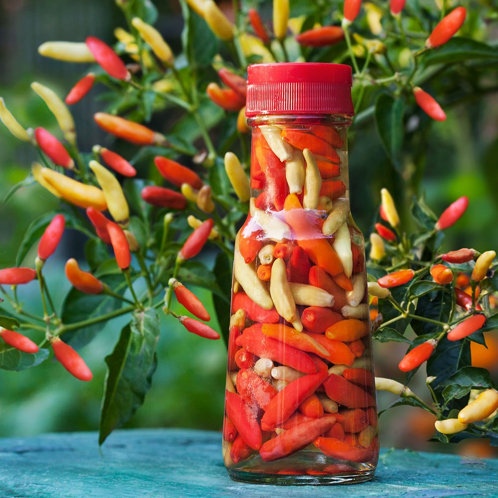 Bonnie Plants Tabasco Pepper - 4 Pack Live Plants, 1.5 - 2 Inch Fruits, 24 - 36 Inch Tall Plants, Great For Pickling & Preserving by Bonnie Plants (Image #7)