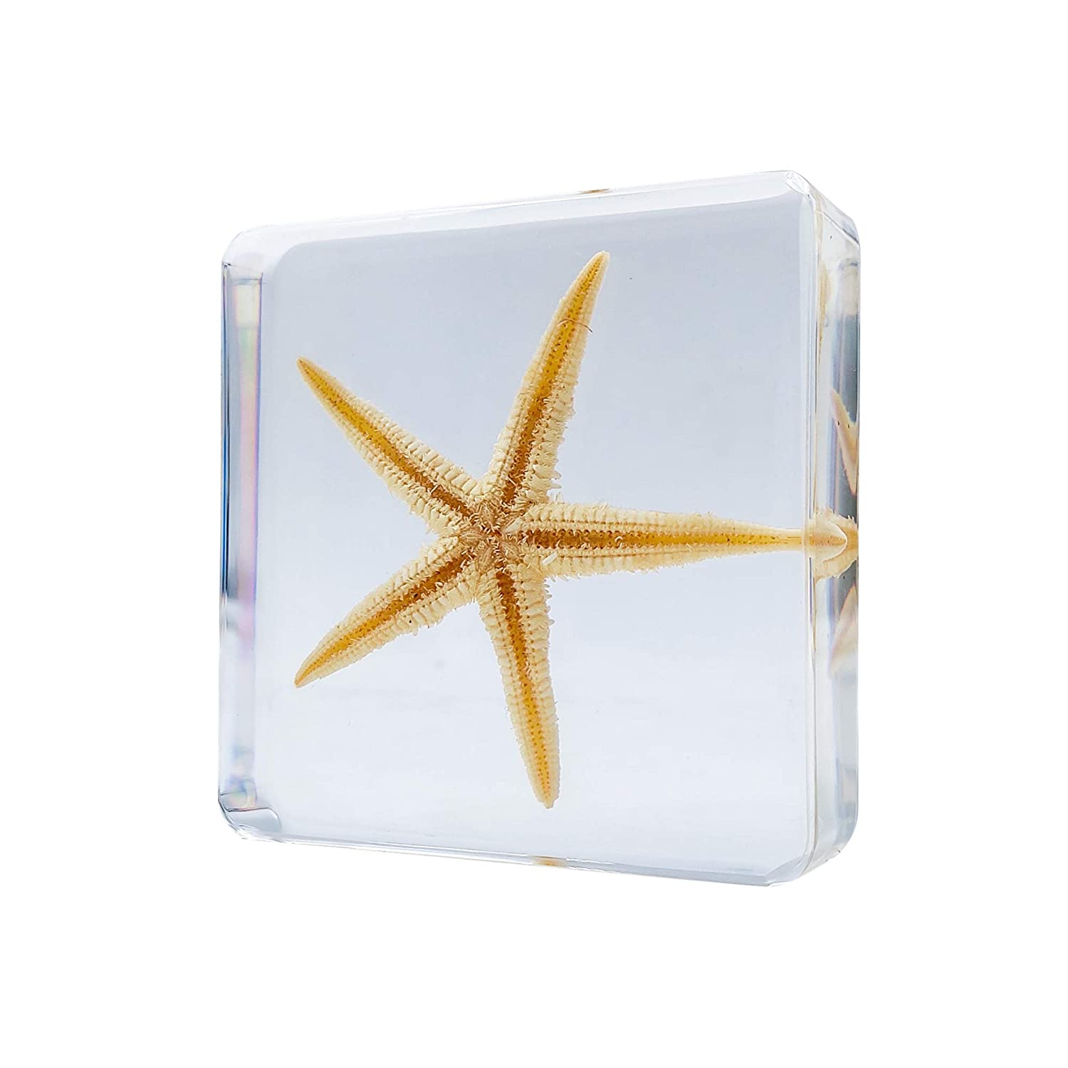 LOOYAR Cute Real Starfish Sea Resin Paperweight Desk Decoration Taxidermy Animals Biology Anatomy Educational Teaching Tool Toy Specimen for Book Office Science Education Classroom
