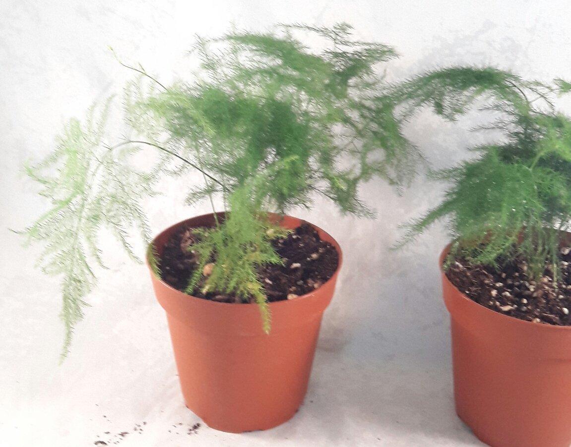 Easy to Grow Two Fern Leaf Plumosus Asparagus Fern Great Houseplant 4 Pot