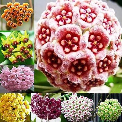 300Pcs Mixed Color Hoya Seeds Garden Supplies Decoration Potted Flower Seeds : Garden & Outdoor