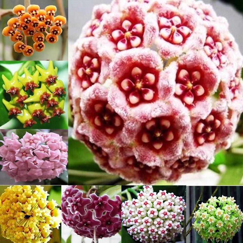 300Pcs Mixed Color Flower Hoya Seeds Ball Orchid Home Garden Yard Decor Palnts