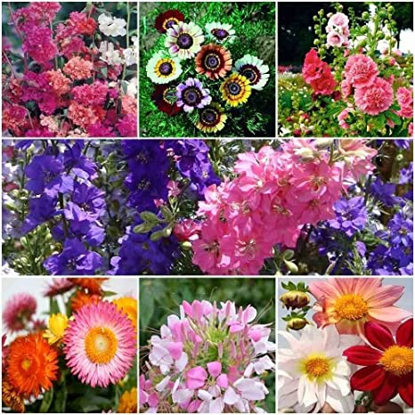 Seedscare India Winter Flower Seeds Kit Of Clarkia Chrysthanemum Mix Hollyhock Larkspur Paper Flower Cleome And Dahlia 7pkts 50 Seeds Each Amazon In Garden Outdoors