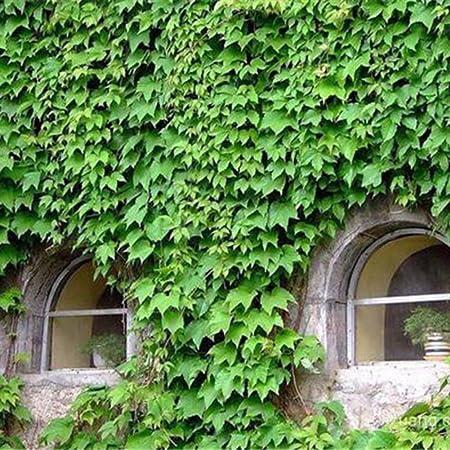 Verandas 50pcs Green Ivy Plants Seeds Evergreen Fast Growing Seed For Fences Pergolas And Trellises Plant Tree Garden Home Flower Decor Walls Vines