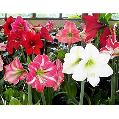 Hot Sale 3 PCS Mixed Amaryllis Bulbs, True Hippeastrum Bulbs Flowers, Barbados Lily Perfect Decorative Gardening : Garden & Outdoor