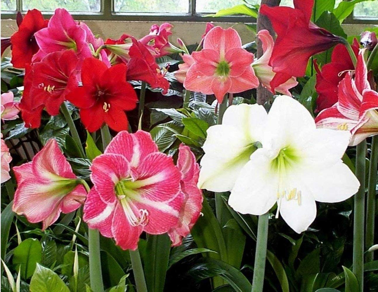 3 Amaryllis Bulbs Are Suitable for Decoration Balcony Gardening and House