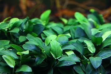Anubias Nana Petite Full Pot vivir Acuario Plantas Agua Dulce Peces buy2get1free: Amazon.es: Jardín