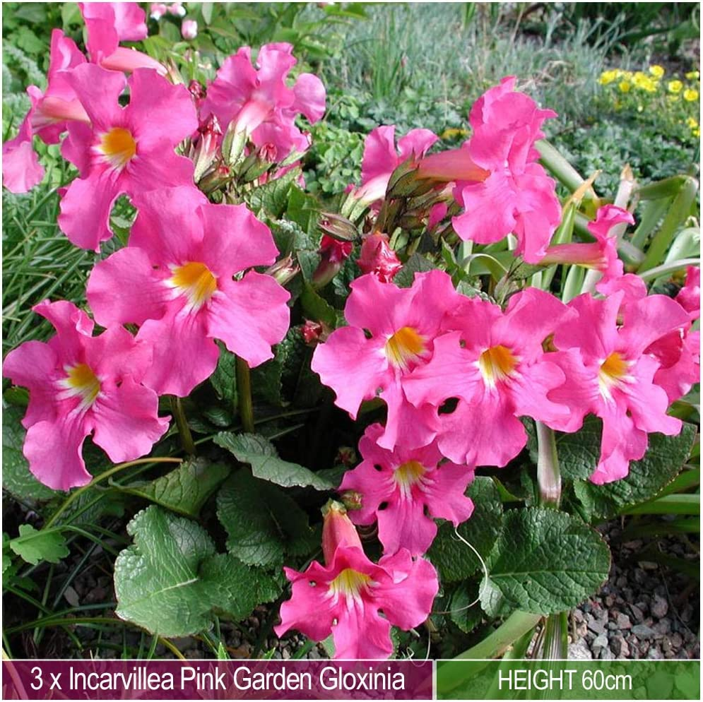 Attracts Bees /& Butterflies Lovely Addition in Your Beautiful Garden 3 x Incarvillea Pink Garden Gloxinia