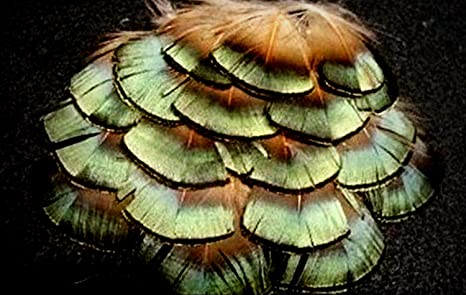 US Seller 20 Green Lady Amherst Pheasant Body Plumage Feathers