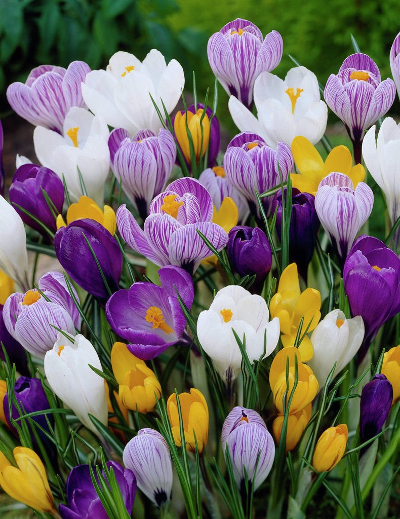20 Giant Mixture Crocus Bulbs Quality Blooming Size 8-9CM Fall Planting by thecountrygardenshop
