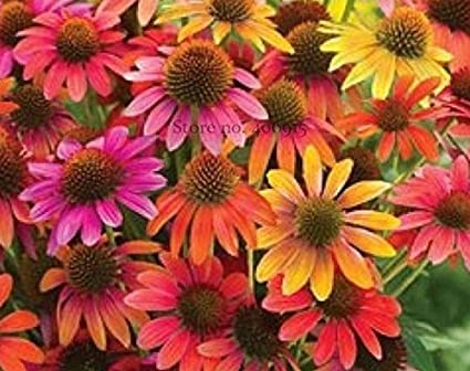 Amazon seeds market rare cheyenne spirit mixed echinacea seeds market rare cheyenne spirit mixed echinacea echinacea 100 seedas decorative perennial flowers mightylinksfo