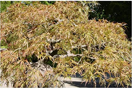 Maple Japanese leaf small good for bonsai 1000 seeds Acer Palmatum