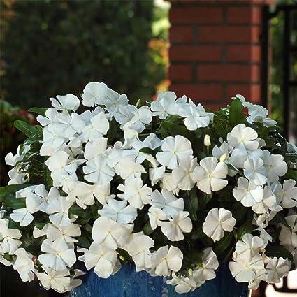 White Vinca Flower Garden Seeds Mediterranean Xp Series White