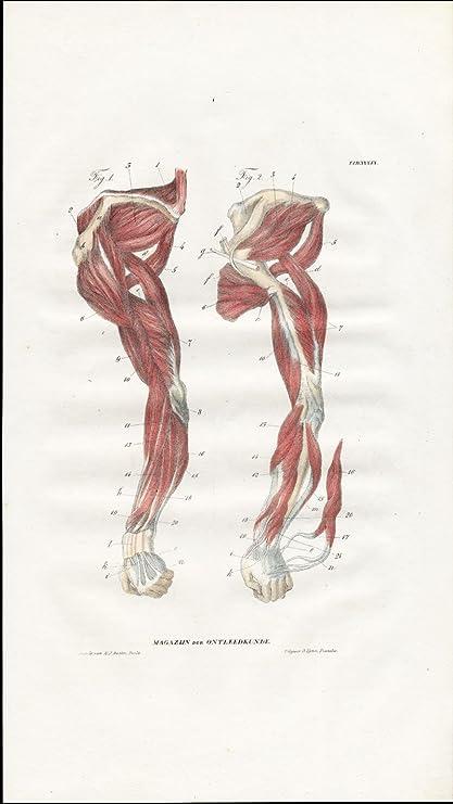 Amazon.com: Antique Anatomy Print-MYOLOGY-MUSCLES-LEFT ARM-SHOULDER ...