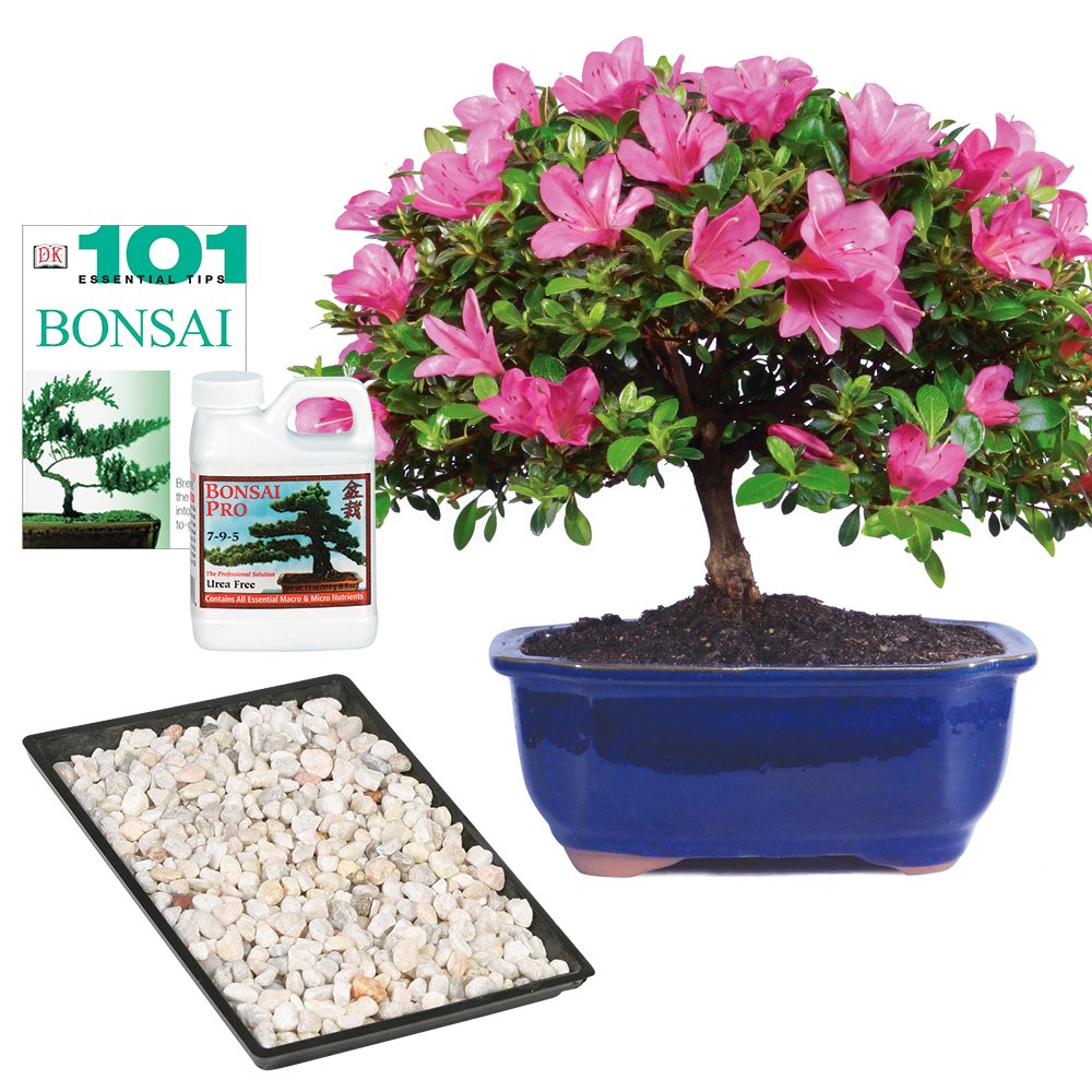 Brussel's Live Satsuki Azalea Outdoor Bonsai Tree - Complete Gift Set - 5 Years Old; 6'' to 8'' Tall with Decorative Container, Humidity Tray, Deco Rock, Bonsai Pro Fertilizer & Book by Brussel's Bonsai