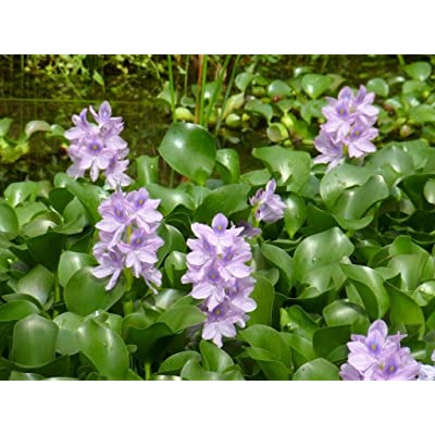 Water Hyacinth Plants for KOI Ponds : Garden & Outdoor