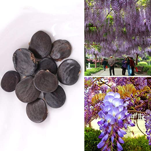 c4503defa46 Amazon.com  Idomeo Perennial Beautiful Flower Wisteria Seeds Garden  Climbing Plant Flowers  Clothing