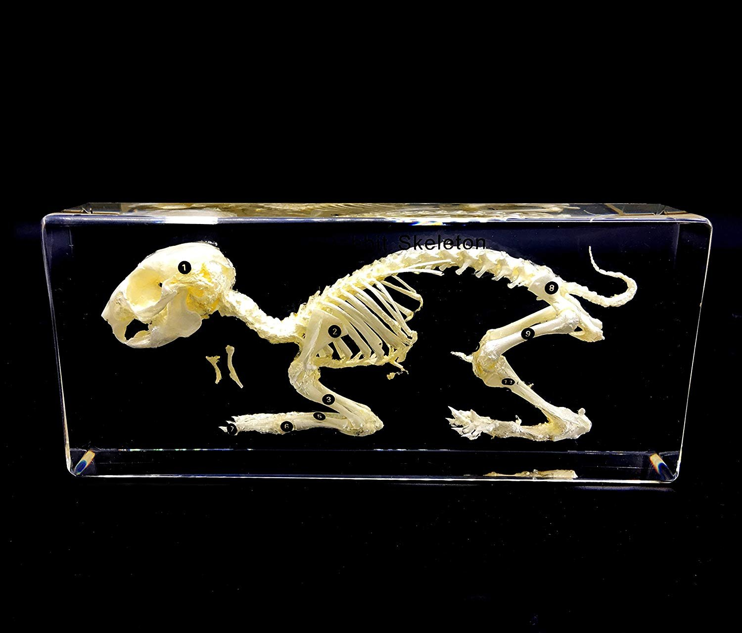 Real Rabbit Skeleton Specimen in Acrylic Block Paperweights Science Classroom Specimens for Science Education