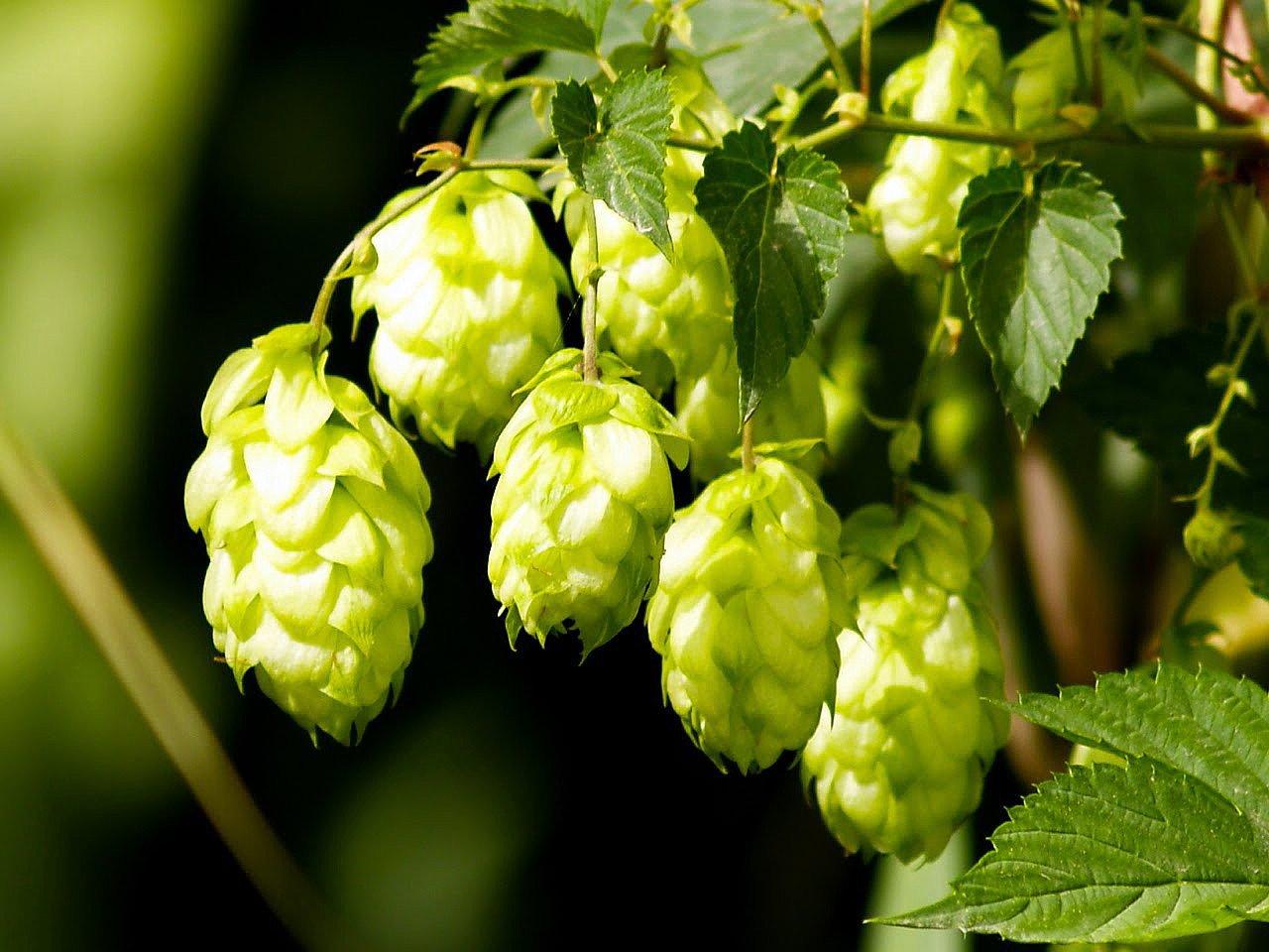 Saaz Beer Hops Vine - Humulus - Grow your own Beer! - 4'' Pot