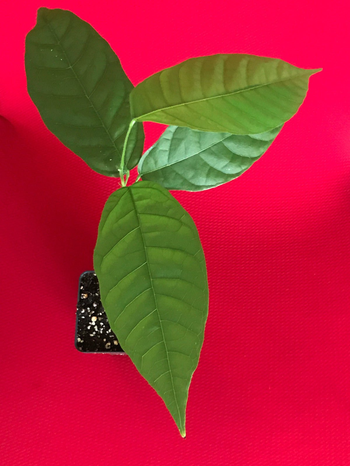 New and Healthy Theobroma Cacao Cocoa Chocolate Fruit Tree - TRINITARIO - Potted Plant Yellow Large