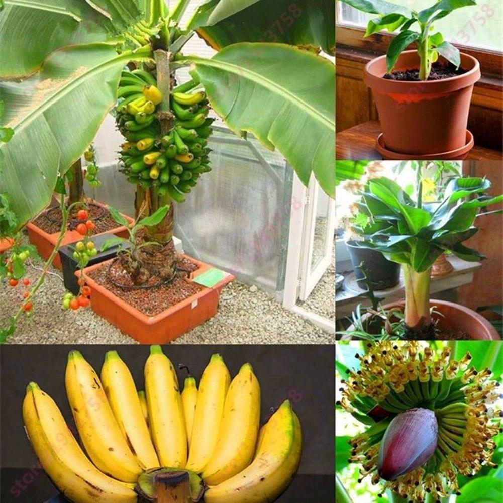 Taloyer 100Pcs Rare Dwarf Banana Seeds Mini Sweet Delicious Bonsai Fruit Seeds Home Garden Plants
