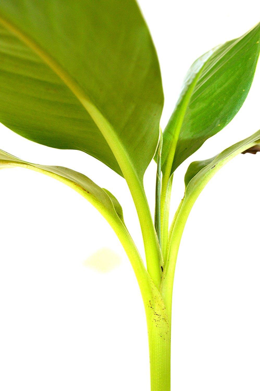 Truly Tiny - Tiny Musa Banana Tree - 6'' Pot - Great Fruit- Jmbamboo