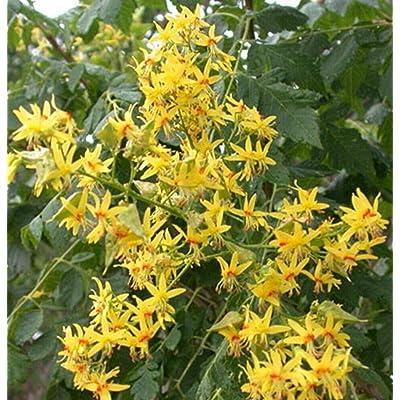 Golden Rain Tree Flowering 1-2 ft : Garden & Outdoor